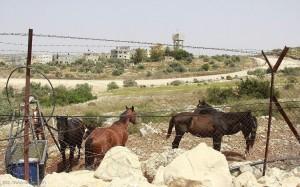 مزارع حيوانات المستوطنين طريقة ماكرة لسرقة أراضي الفلسطينيين